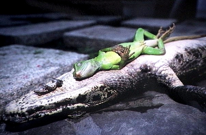 讓不可能成為可能-鱷魚、蜥蜴、青蛙疊羅漢